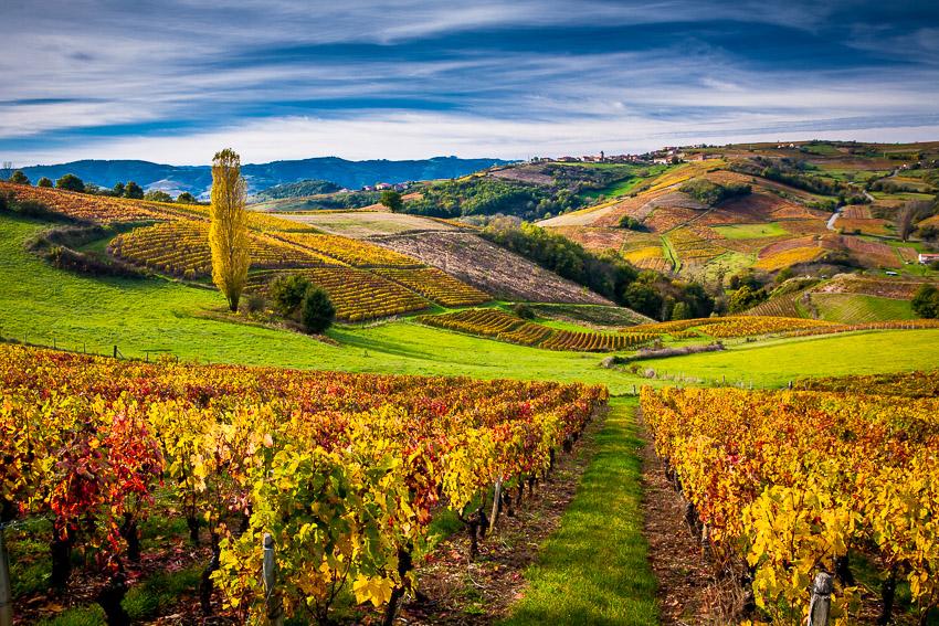 Vignes en beaujolais sous les couleurs de l 39 automne denis chaussende - Les couleurs de l automne ...